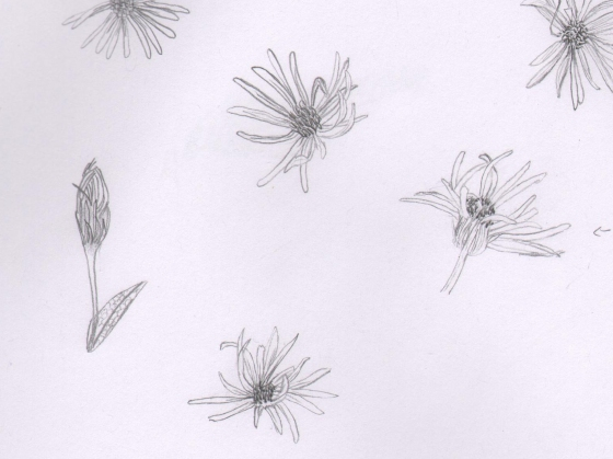 Asters Sketch